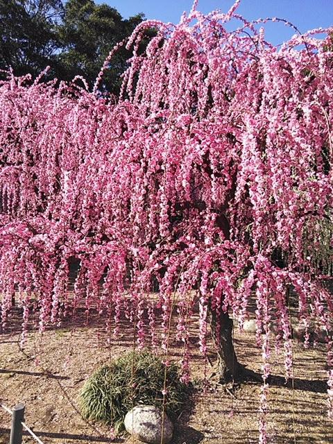 津市、結城神社の梅の花です。