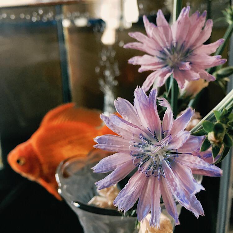 チコリの花と金魚