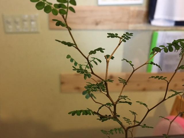 ソフォラ・リトルベイビー  ベイビーという割には成木は2m位になるそうです。  葉っぱがかわいい奴です。