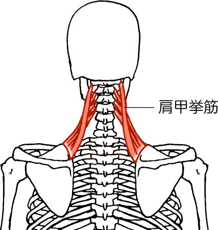 「肩甲挙筋」の画像検索結果