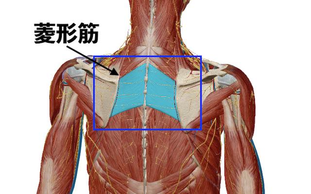 菱形について【肩の筋肉】(2019年05月10日 15時01分) Re.Ra.Ku 下丸子 ...